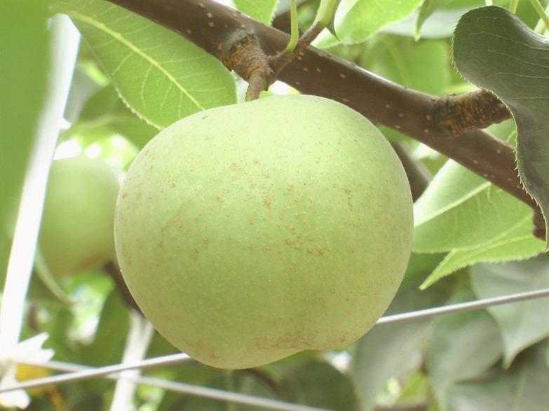 最近では珍しい梨を中津より新鮮お届け! 梨(菊水)/2.5kg 東中津果樹組合・大分県