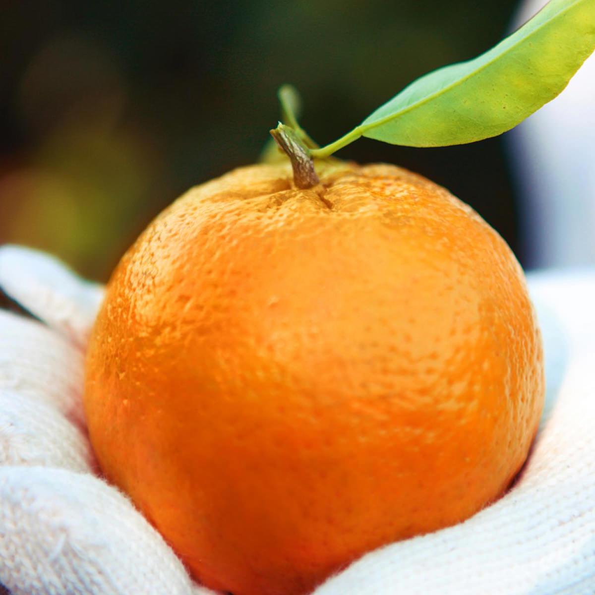 フクチャンFARM 高知県産 おひさまオレンジ 甘いみかん 爽やか ぽんかん〔10kg〕