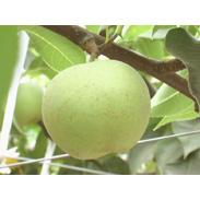 最近では珍しい梨を中津より新鮮お届け! 梨(菊水)/5kg 東中津果樹組合・大分県